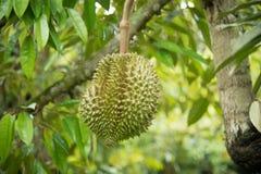 Durian auf dem Baum im Garten Stockfoto