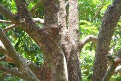 Durian-Barke stockfotografie