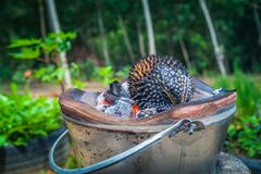 Barbecue durian on stove. The durian is brought to burn on stove to add flavor. Eat hot durian with extra nutrients Stock Photo