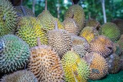 Barbecue durian on stove. The durian is brought to burn on stove to add flavor. Eat hot durian with extra nutrients Royalty Free Stock Photos