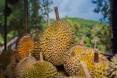 Barbecue durian on stove. The durian is brought to burn on stove to add flavor. Eat hot durian with extra nutrients Stock Images