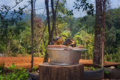 Barbecue durian on stove. The durian is brought to burn on stove to add flavor. Eat hot durian with extra nutrients Royalty Free Stock Image