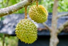 Durian che appende sull'albero del ramo Fotografie Stock Libere da Diritti