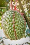 Durian de la fruta en árbol Foto de archivo libre de regalías