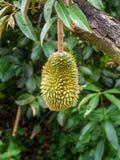 Durian de la Thaïlande de bébé Photographie stock libre de droits