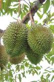 Durian della frutta tropicale sull'albero. Immagini Stock