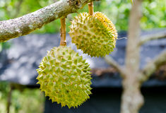 Durian, der am Niederlassungsbaum hängt Lizenzfreie Stockfotos