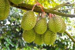 Durian drzewa Zdjęcie Stock