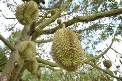 Durian drzewa Fotografia Stock