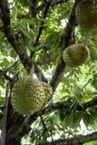 Durian drzewo w rolny owocowy organicznie Obrazy Stock