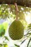 Durian drzewo w sadzie obraz royalty free