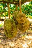 Durian, durian drzewo/ Zdjęcie Stock