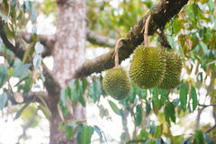 Durian on the durian tree in garden Stock Photo