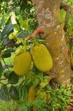 Durian Durio zebethinus Stock Images