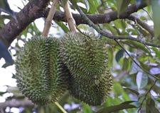 Durian en árbol Fotografía de archivo