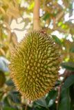 Durian en árbol imagen de archivo libre de regalías