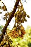 Durian flower Stock Photos