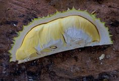 Durian frais Photo stock
