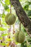 Durian frais dans le verger chez Rayong, Thaïlande Photo libre de droits