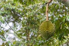 Durian frais sur l'arbre Photographie stock libre de droits