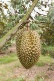 Durian fresco Foto de Stock