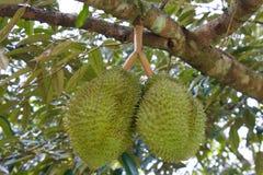 Durian fresco na árvore Foto de Stock