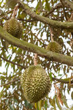 Durian fresco na árvore de durian Fotos de Stock