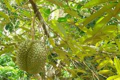Durian fresco sul suo albero nel frutteto tropicale, Tailandia Immagine Stock