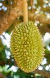 Durian Stock Photos