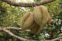 Durian Fruit Stock Photo