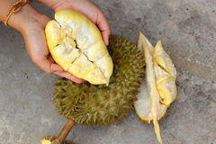 Durian fruit ripe for eaten in hand Stock Photos