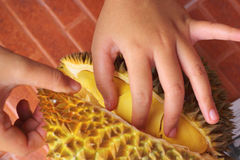 Durian fruit ripe for eaten in hand Royalty Free Stock Photos