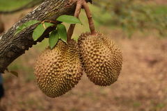 durian fruit Thailand Royalty-vrije Stock Fotografie