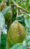 Durian Fruit on the Tree Stock Photos