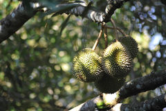 Durian Fruit On Tree,Tropical Royalty Free Stock Photo
