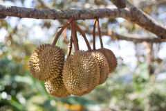 Durian fruits with stem on tree Stock Photos