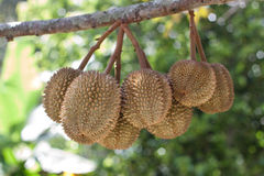 Durian fruits with stem on tree Royalty Free Stock Images