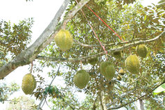 Durian fruits on tree Stock Image