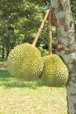 Durian fruits on tree Royalty Free Stock Photography