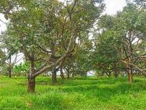 Durian garden Royalty Free Stock Image