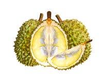 Durian gatunki Monthong Tajlandia odizolowywający na białym tle obraz stock