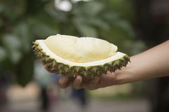 Durian on the hand ready to eat Royalty Free Stock Photo