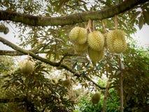 Durian hangt op de Boom royalty-vrije stock afbeelding