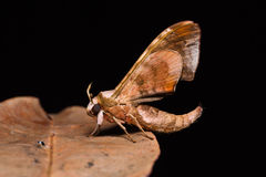 Durian hawkmoth Stock Photo
