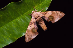 Durian hawkmoth Royalty Free Stock Image
