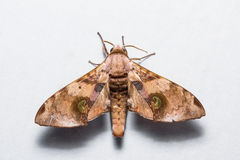 Durian hawkmoth Royalty Free Stock Photo