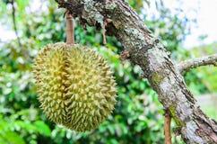 Durian het hangen op takboom Royalty-vrije Stock Foto's