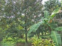 Durian i trädgården fotografering för bildbyråer