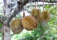 Durian i trädgården Royaltyfri Fotografi