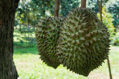 Durian il re dei frutti Fotografia Stock